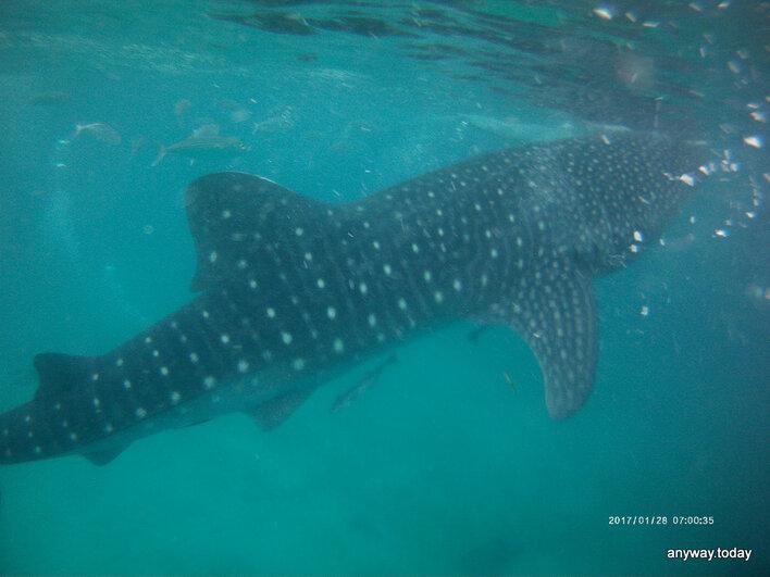 Плавание с китовыми акулами, Филиппины
